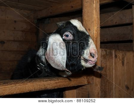 Nubian Black And White Goat Male In Barn