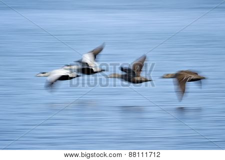Common Eider ducks
