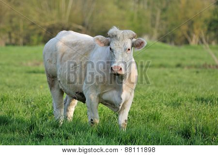 Dikbil cow in the meadow