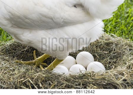 Hen Laying Down Eggs