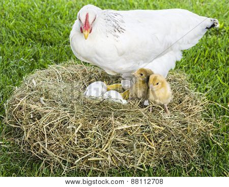 Hen With Eggs And Chicks