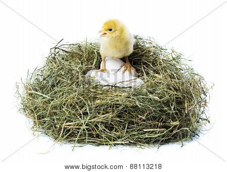 Chick In Nest