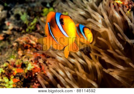 Dad And Mam Clownfish