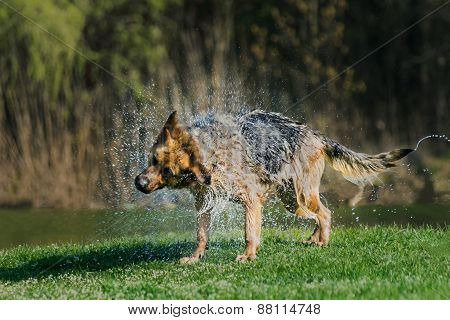 German Shepherd shaking off water