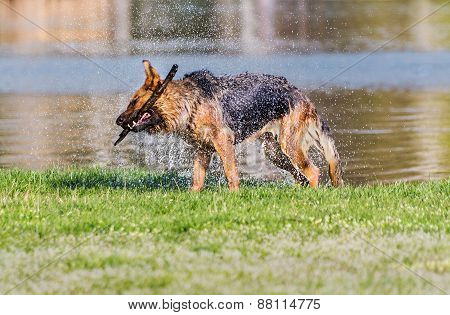 German Shepherd fetching stick