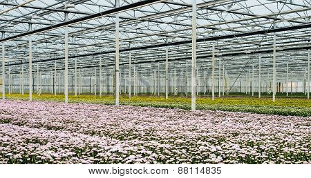 Glasshouse Of A Cut Flower Nursery With Blooming Chrysanthemums