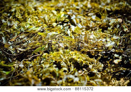 Background Made Of Green Seaweed. Shallow Focus