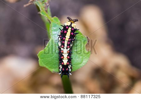 Common Mime Caterpillar