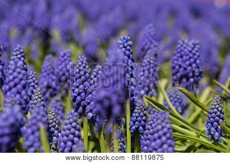 grape hyacinths, Istanbul, Turkey