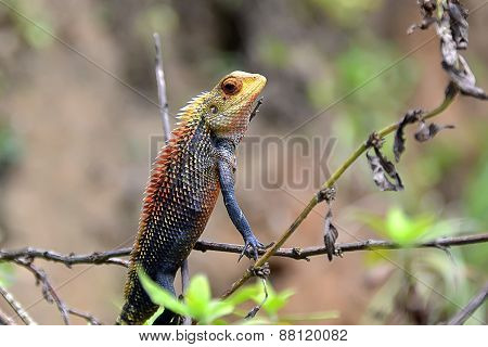 Little Color Chameleon Sitting In Grass Detail Photography