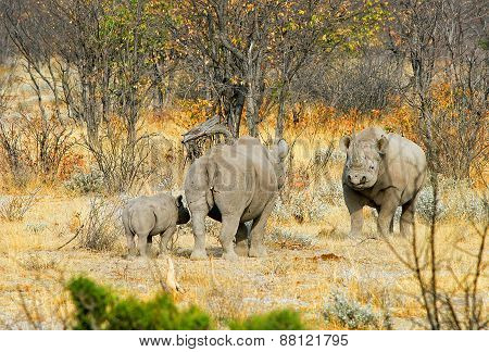Three Black Rhinos in the Bush in Namibia