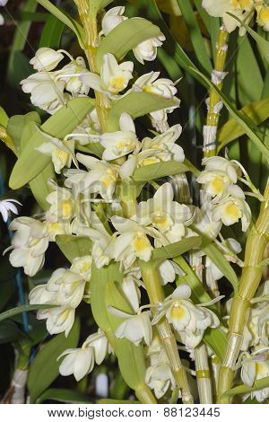Dendrobium Hoshimusume Hybrid Orchid