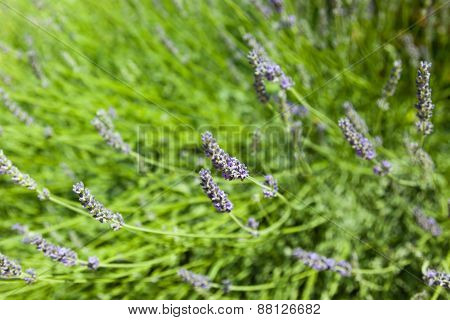 The Blossoming Lavender