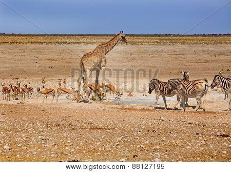 A busy waterhole in Etosha