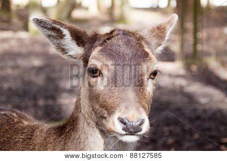 Deer close
