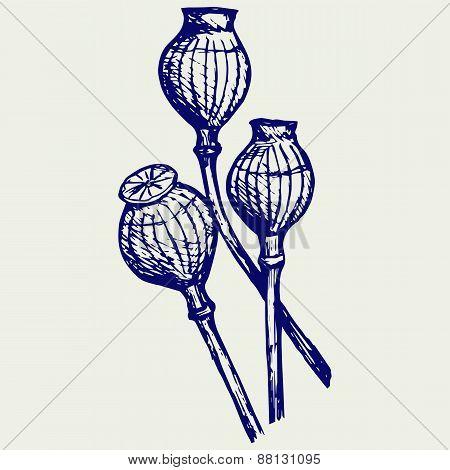 Opium poppyhead