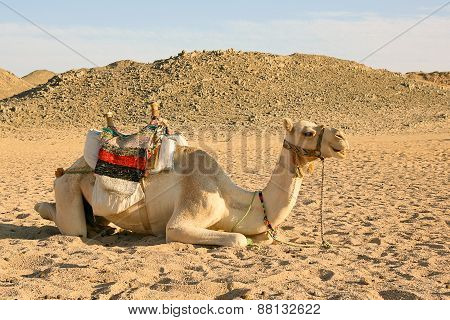 Camel Have A Rest In Desert