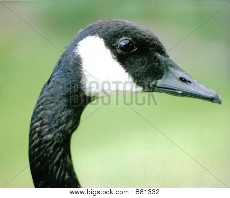 Canada Goose Eye To Eye