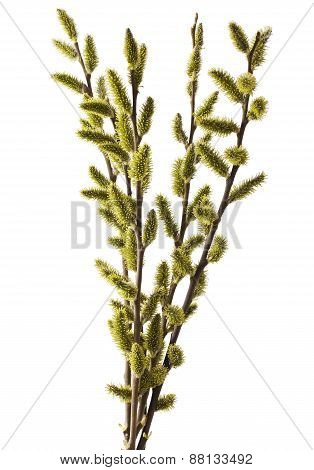 Catkins Willow