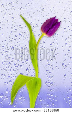 Rain Drop Tulip