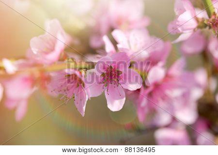 Soft focus on blooming fruit tree