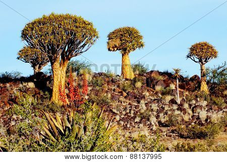 Quiver Tree Forest on a Rocky Hill, Late Afternoon, Keetmanshoop, Namibia