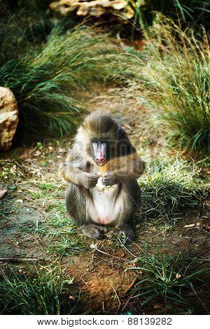 Mandrill (Mandrillus Sphinx) Eating