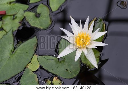 Pond With Blooming Water Lilies 3