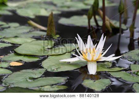 Pond With Blooming Water Lilies