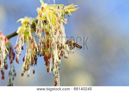 The bee flies to blossoming tree for collecting nectar.