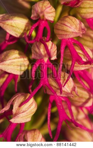 Orchid Hybrid Flower Detail - Orchis X Bivonae
