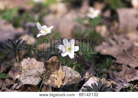 Small Flower Anemone Among The Leaves In The Forest