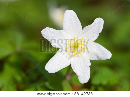 Macro Of A White Wood Anemone