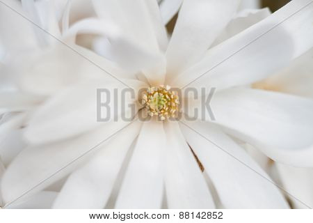 White Flower Of A Star Magnolia