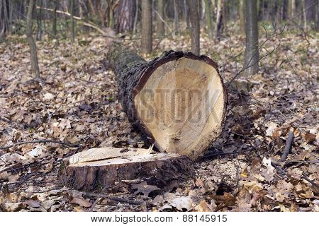 Felled Tree Trunk And Stump In The Woods