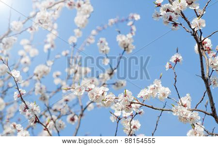 white spring apricot flowers