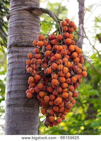 Ripe Areca Nut Palm