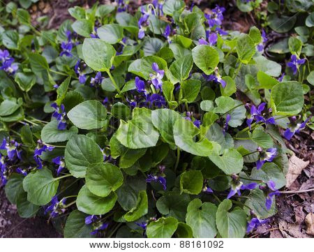 Bush blooming violets on the ground