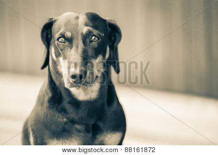 dachshund on concrete waiting