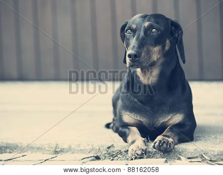 dachshund on concrete waiting