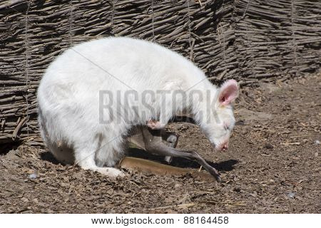 White Red-necked Wallaby (macropus Rufogriseus)