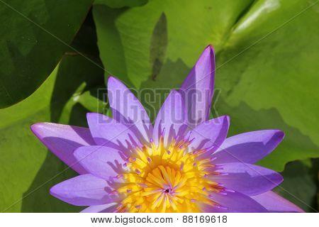 Half Closeup Beautiful Purple Water Lily