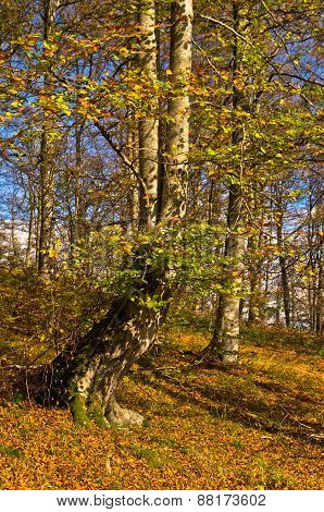 Colours of autumn in a forest at sunny day, Radocelo mountain