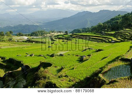 Terrace Rice Fields In Tana Toraja