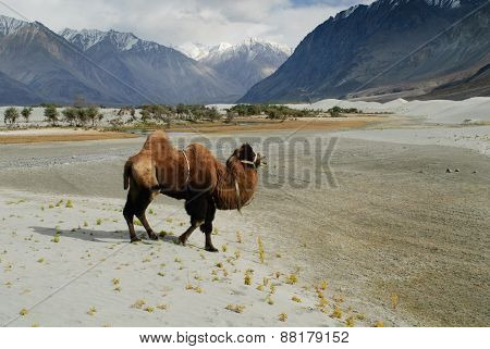 Bactrian Camel In Nubra Valley