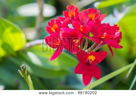 Epidendrum Orchid Is A Species Of Orchid Are Native To The Tropical Americas And Mexico.