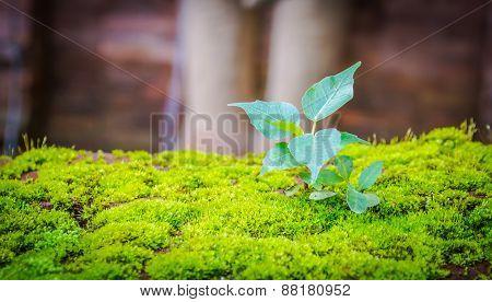 Small Bodhi Tree