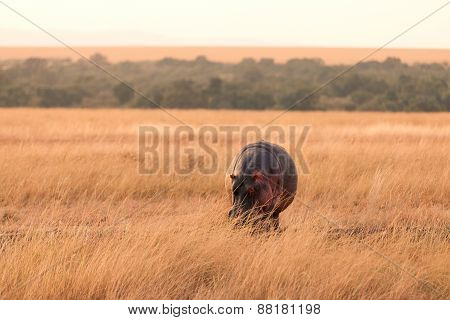 Hippopotamus, Masai Mara