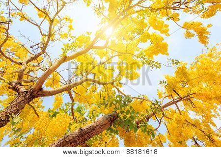 Golden Shower Tree,yellow flower