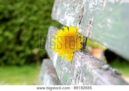 Dandelion Flowering In The Old Green Bench